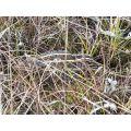Oželis nykštukas sugeba gerai užsimaskuoti tarp pelkių augalijos. n.M.Jankauskienės