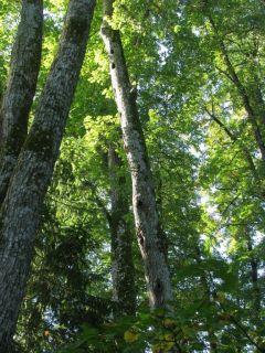 9020, Plačialapių ir mišrūs miškai (Liepijų miškas)