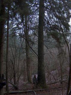 Plokščių miško eglė